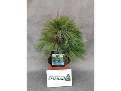 Pinus schwerinii 'Wiethorst'
