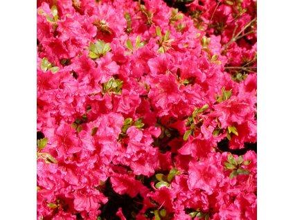 Azalea (J) 'Vuyk's Scarlet' (Azalka japonská)