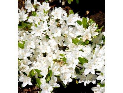 mi7669 rhododendron 1774