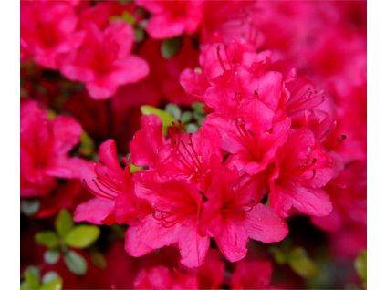 azalea japonica shrub