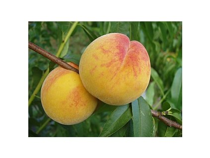 4964 prunus persica catherina njc 83 1