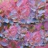 cotinus coggygria dusky maiden