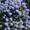 ceanothus blue mound shrub 9cm p249 35471 image