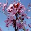 prunus cerasifera nigra tree p206 281 medium