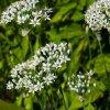 pazitka cinska neko allium tuberosum semena pazitky 20 ks