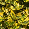 euonymus fortunei emerald n gold 1586938433 l