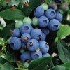 37100 37100 image chippewa blueberry