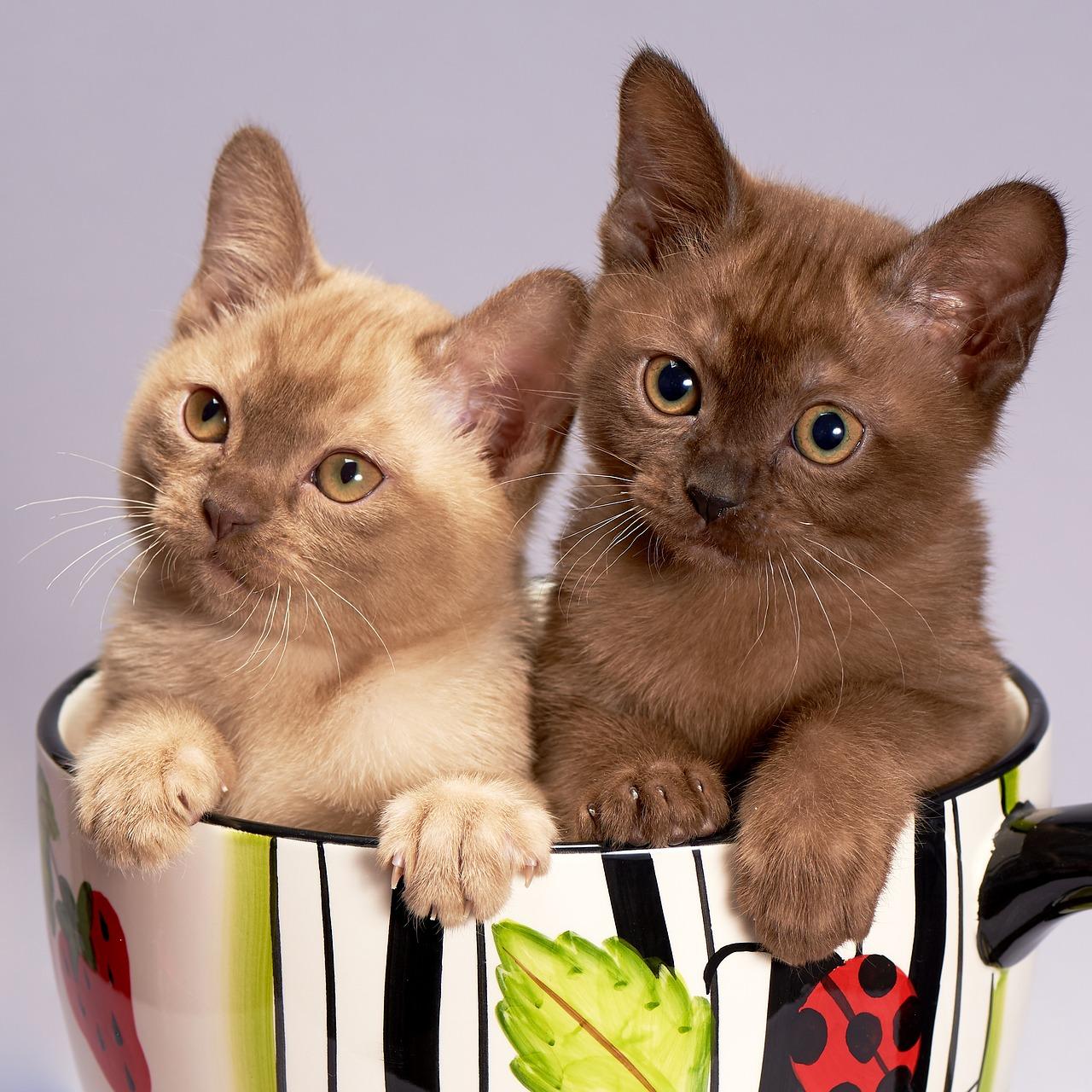 Chcete si pořídit kočku? A víte, jaká jsou v Česku 3 nejoblíbenější kočičí plemena?