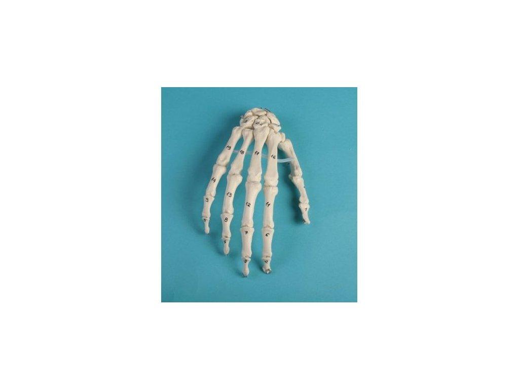 Kostra ruky s číslovanými kostmi