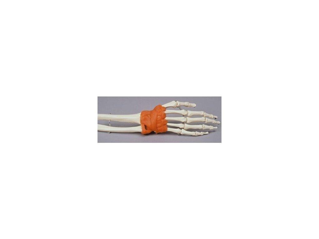 Model ruky a zápěstí