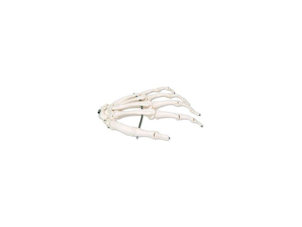 Kostra ruky spojená drátkem, levá