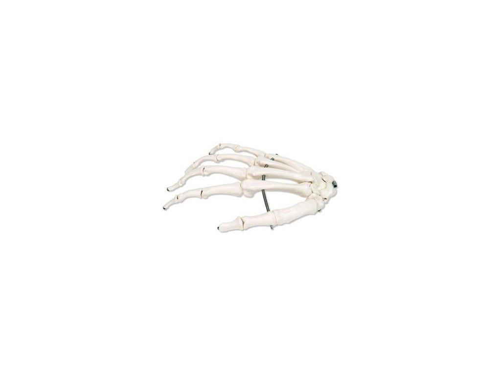Kostra ruky spojená drátkem, pravá
