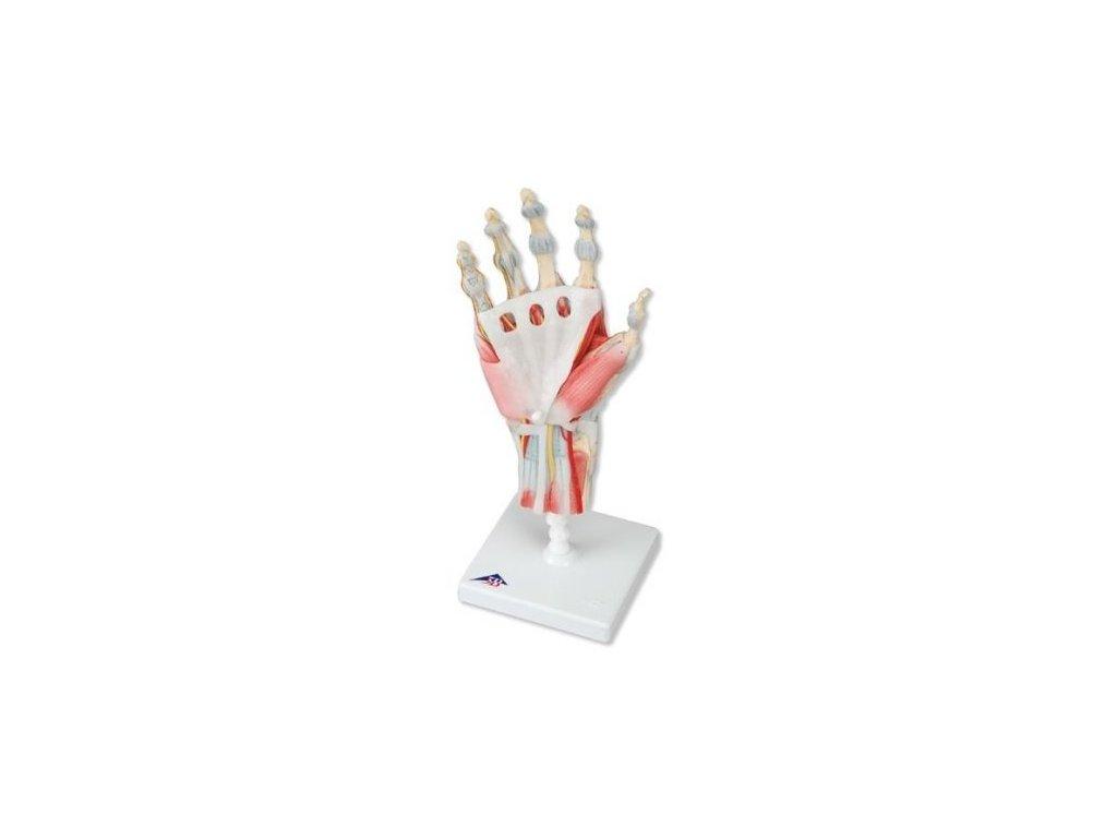 Kostra ruky s vazy a svaly
