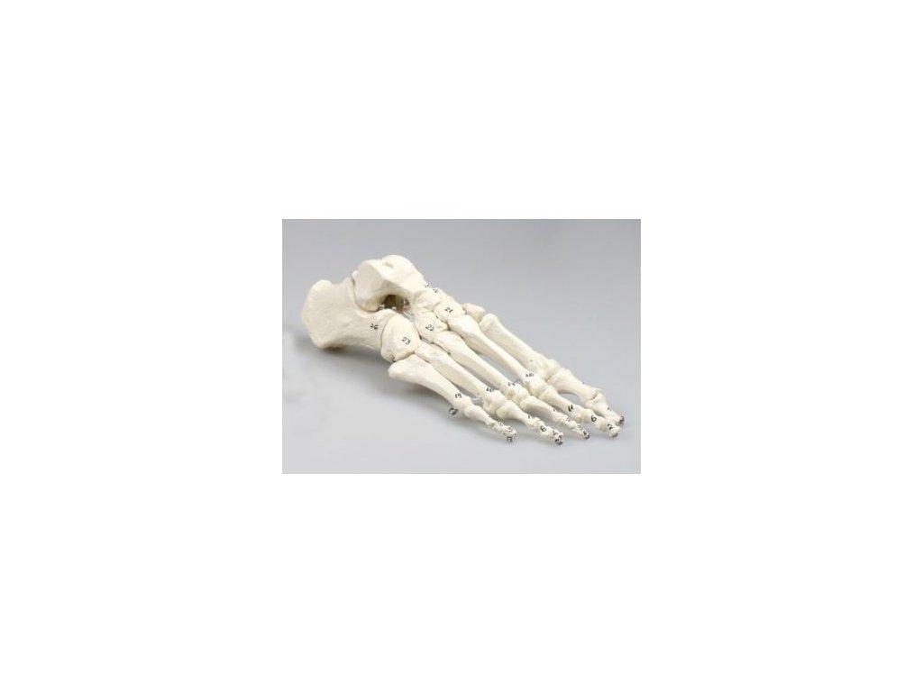 Kostra nohy, číslovaná