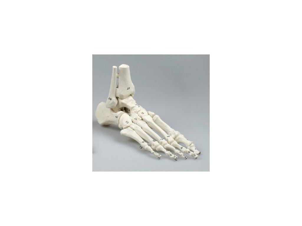 Kostra nohy s připojením holenní a lýtkové kosti, číslovaná