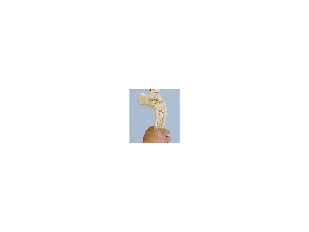 Kostra nohy s připojením holenní a lýtkové kosti, ohebná