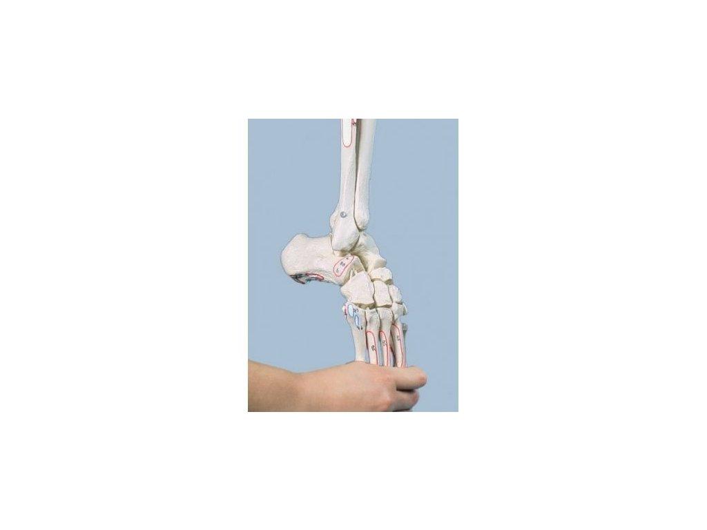 Kostra dolní končetiny s polovinou pánve a ohebným chodidlem, s naznačenými svaly