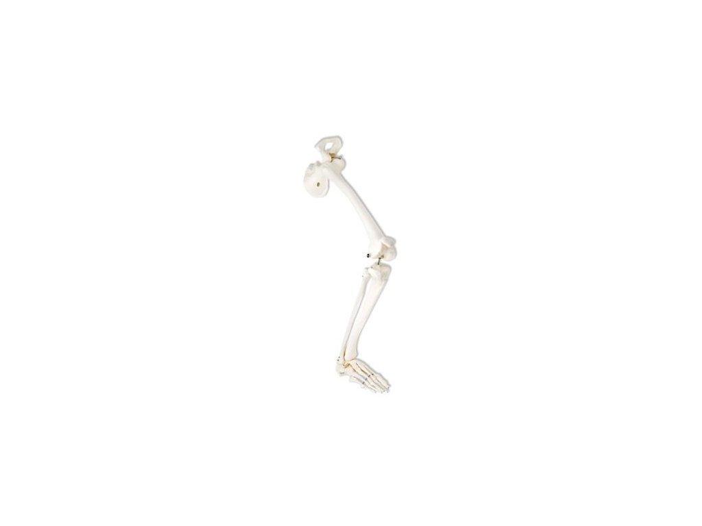 Kostra nohy s kyčelní kostí, pravá
