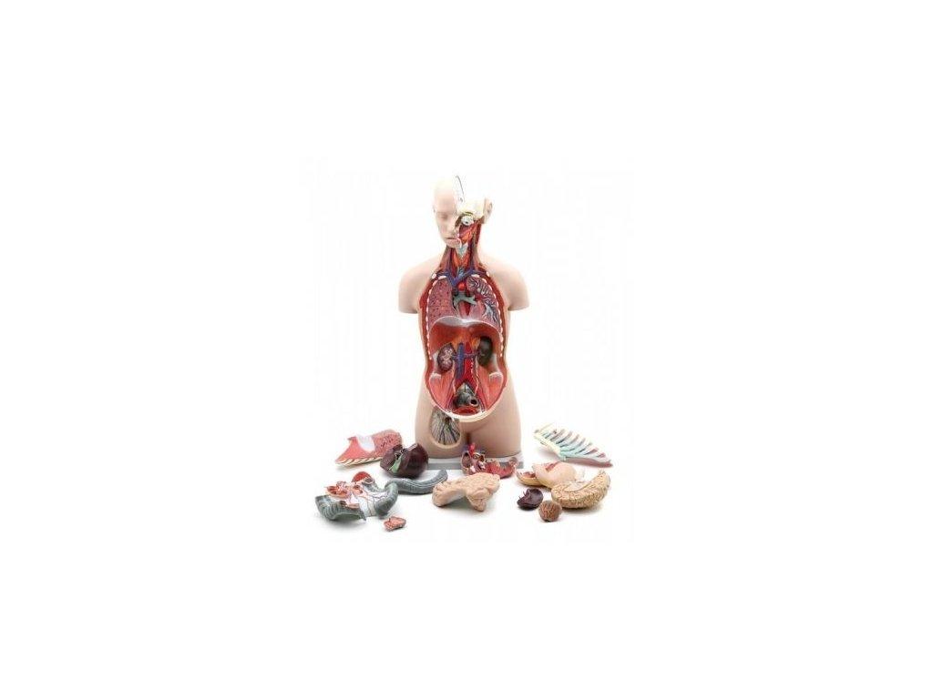 Vysoce kvalitní model lidského těla bez pohlaví, s otevřenými zády