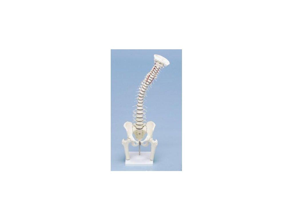 Páteř s odnímatelnou pánví a částmi stehenních kostí