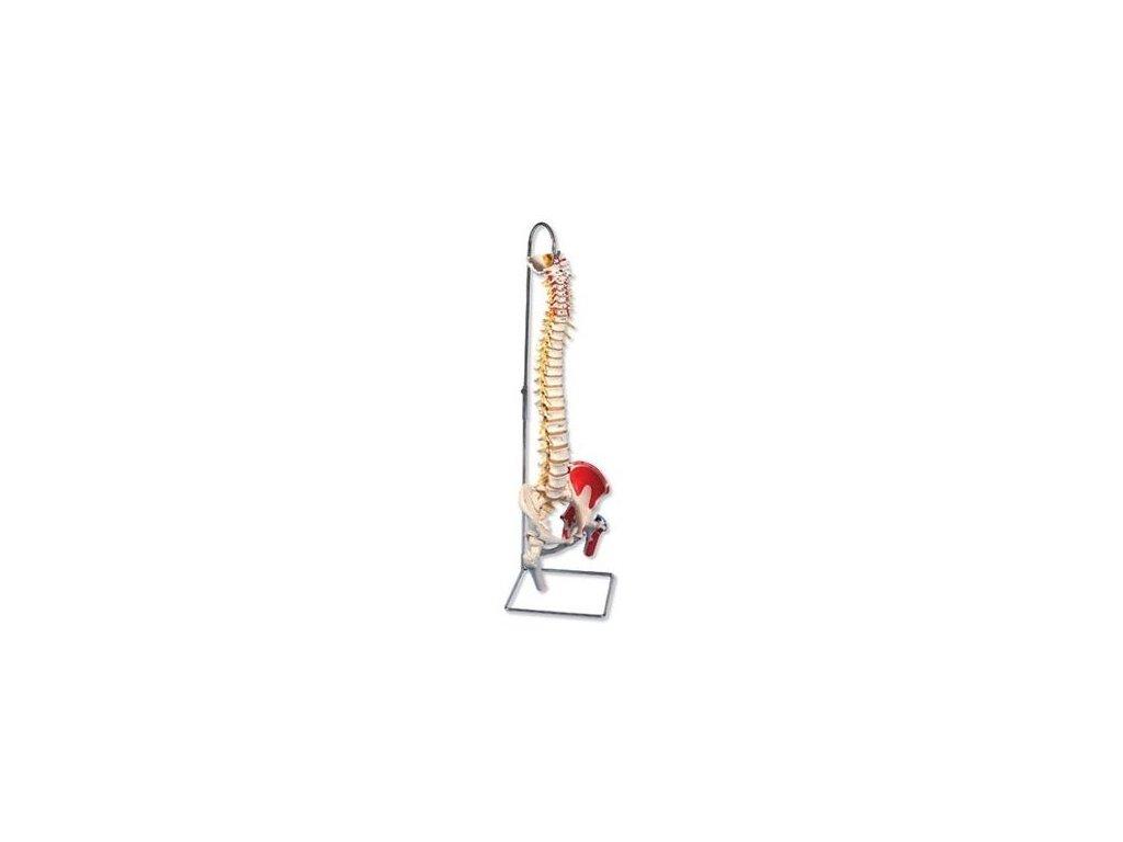 Luxusní ohebný model páteře s čepy stehenních kostí a namalovanými svaly