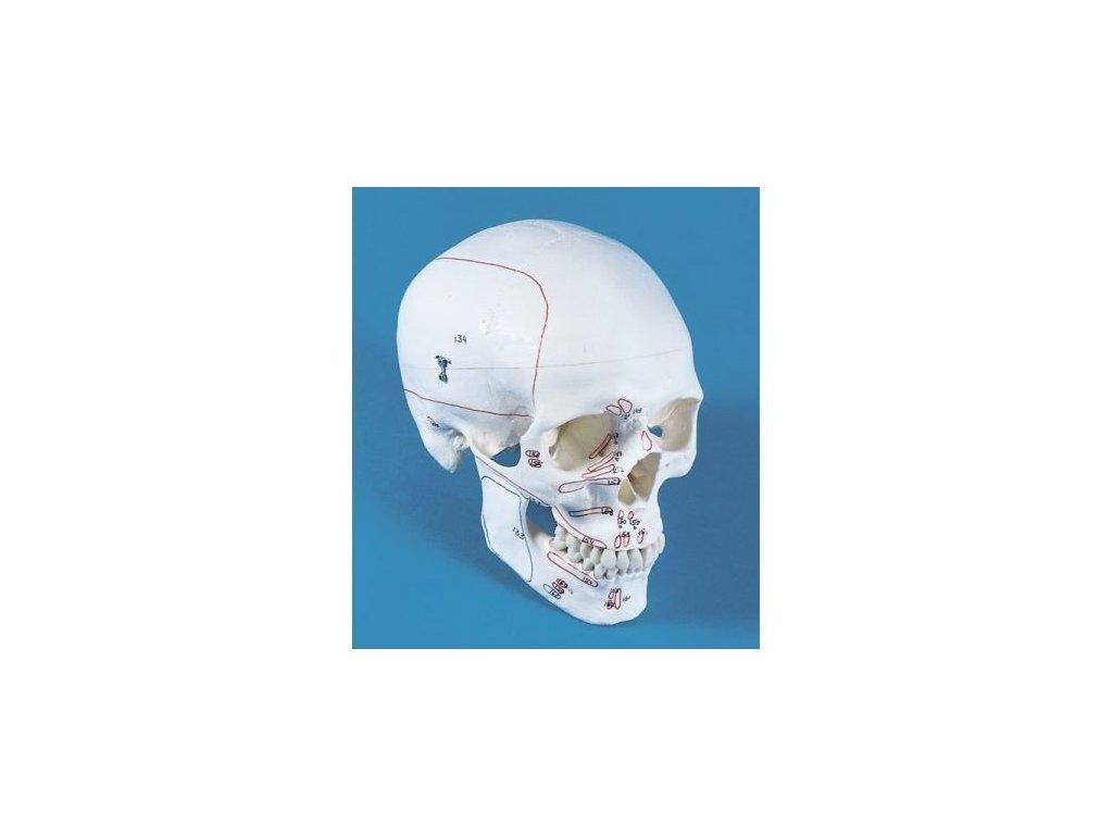 Model lebky, 3 části, s naznačenými svaly