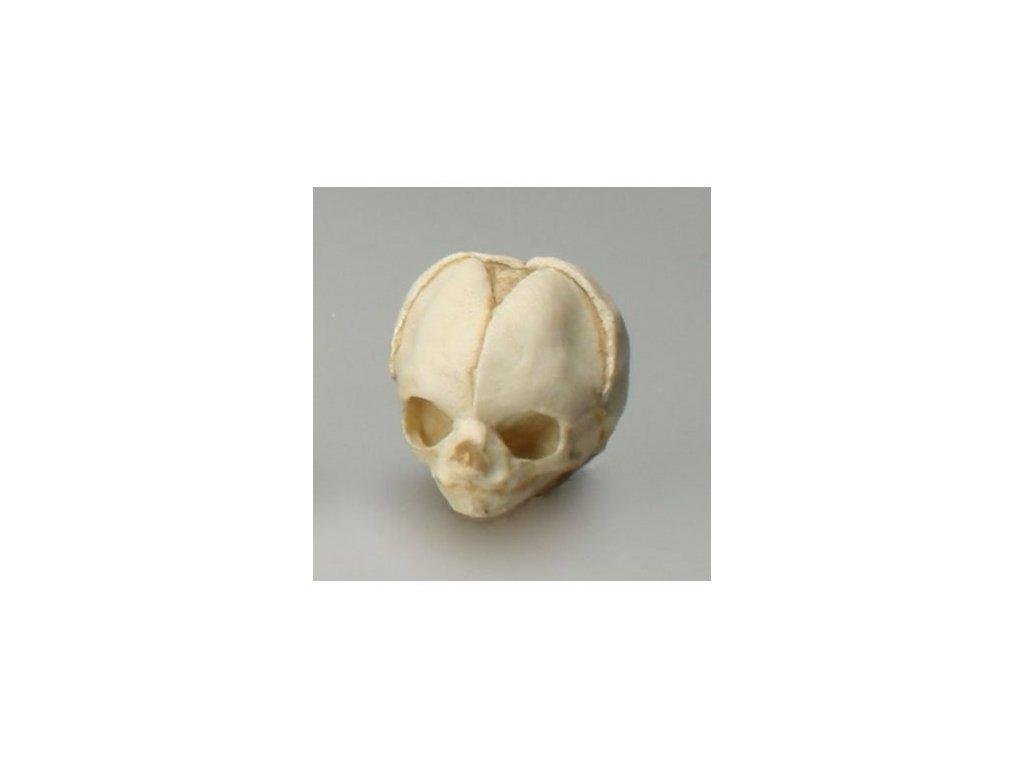 Lebka 14týdenního plodu