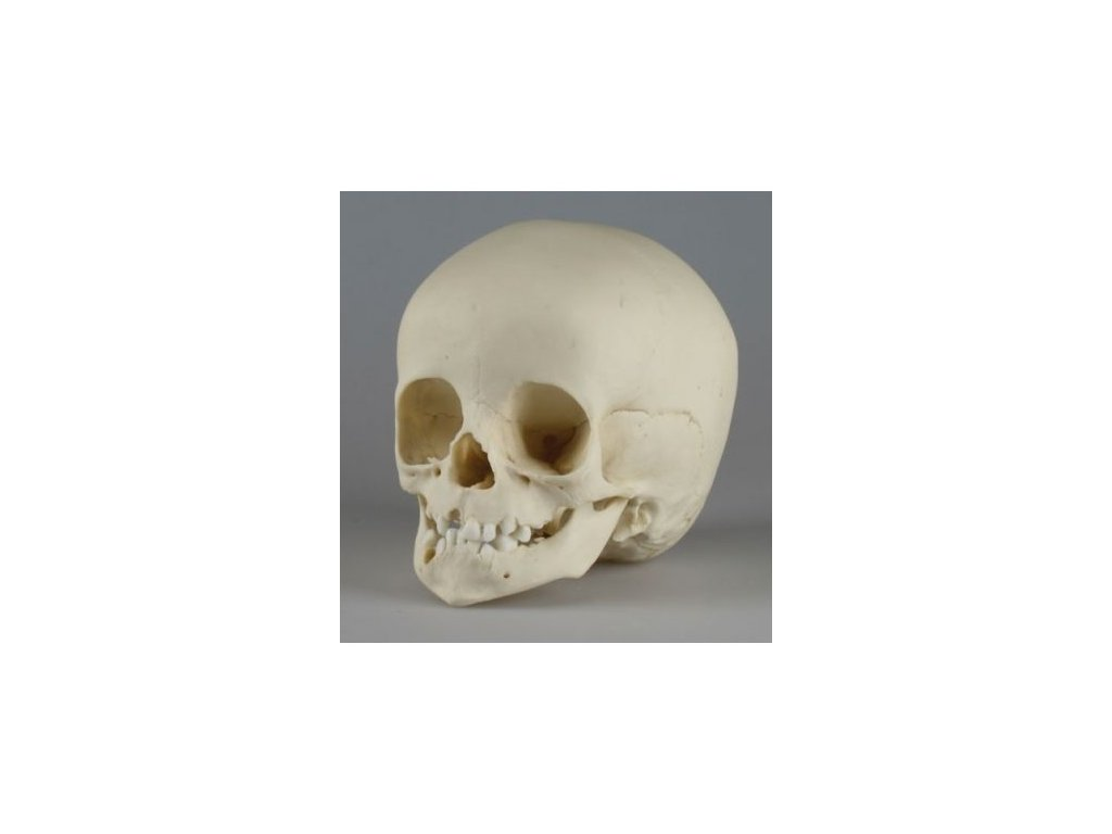 Lebka dvouletého dítěte