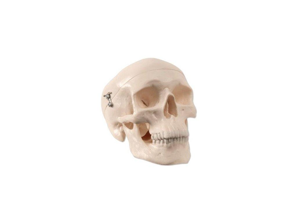 Zmenšený model lidské lebky, 3 části - horní část, základová část, dolní čelist