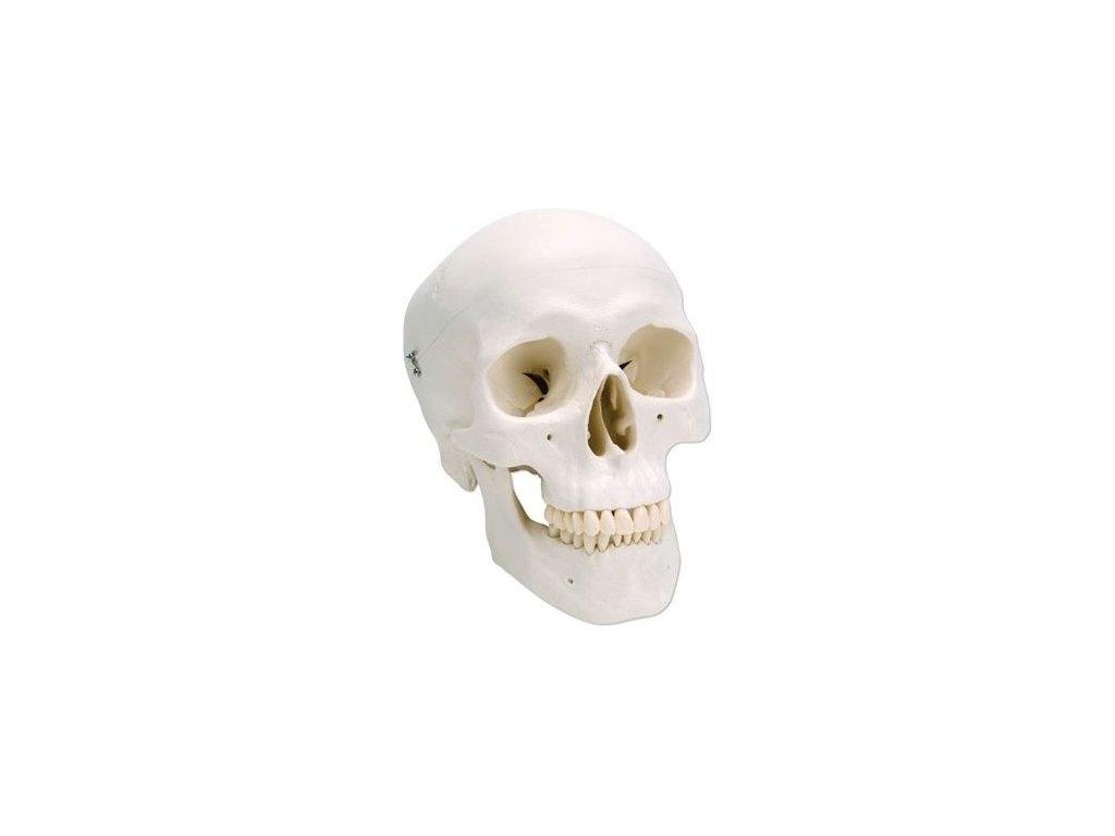 Klasický model lidské lebky, 3 části