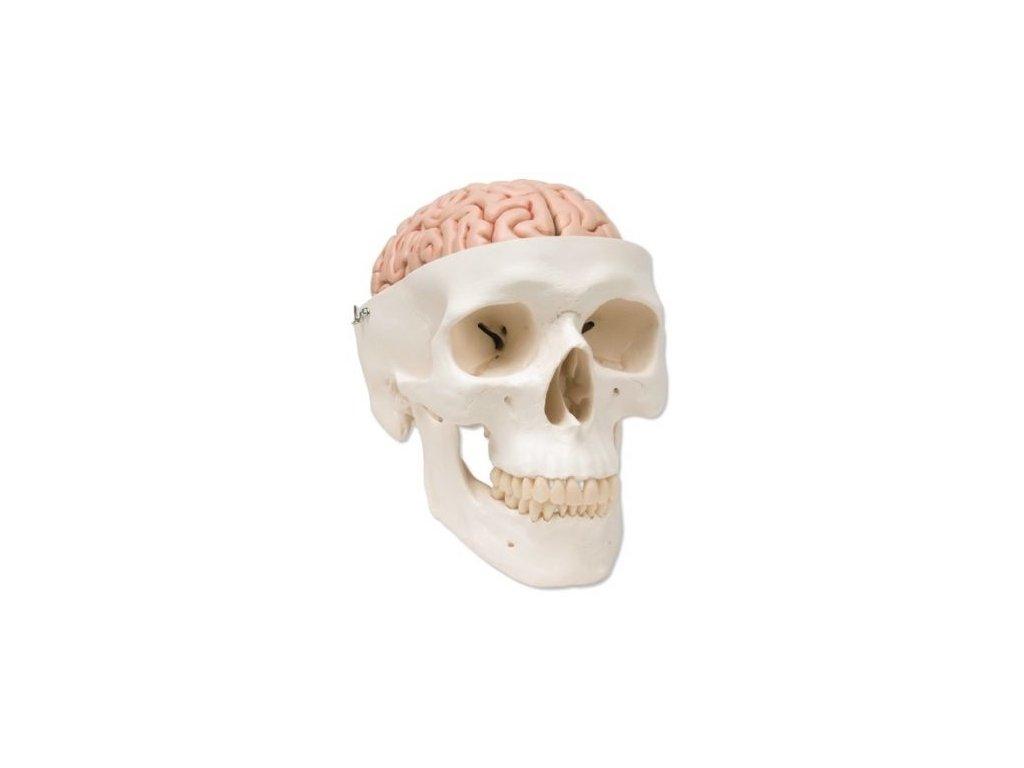 Klasická lebka s mozkem, 8 částí
