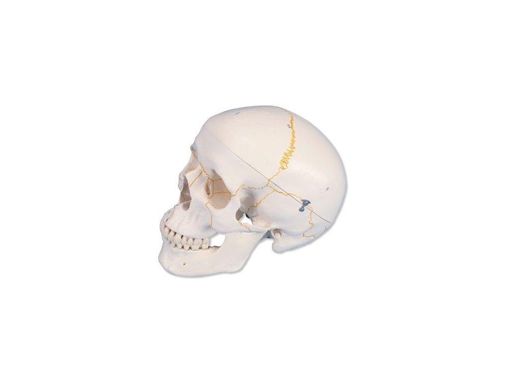 Očíslovaný klasický model lidské lebky, 3 části