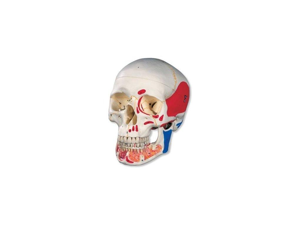 Klasická lebka s otevřenou dolní čelistí, malovaná, 3 části