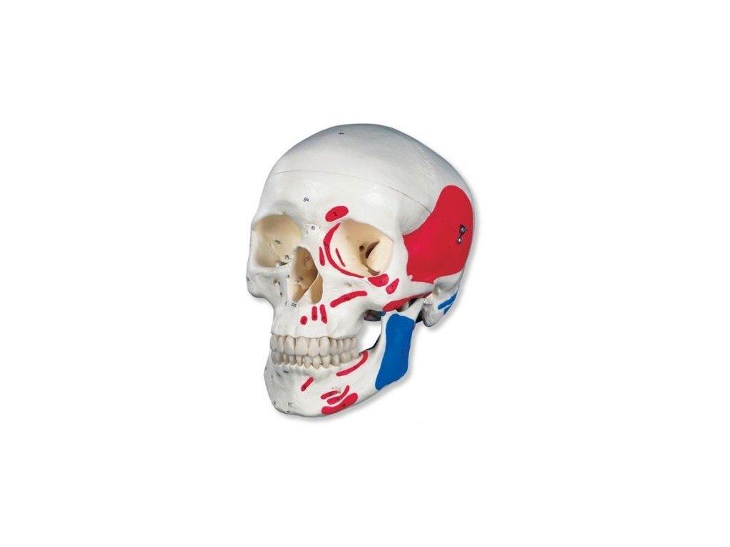 Klasická lebka, malovaná, 3 části