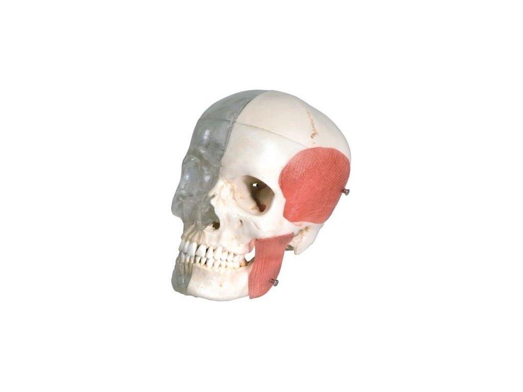 Členěná kombinovaná lebka