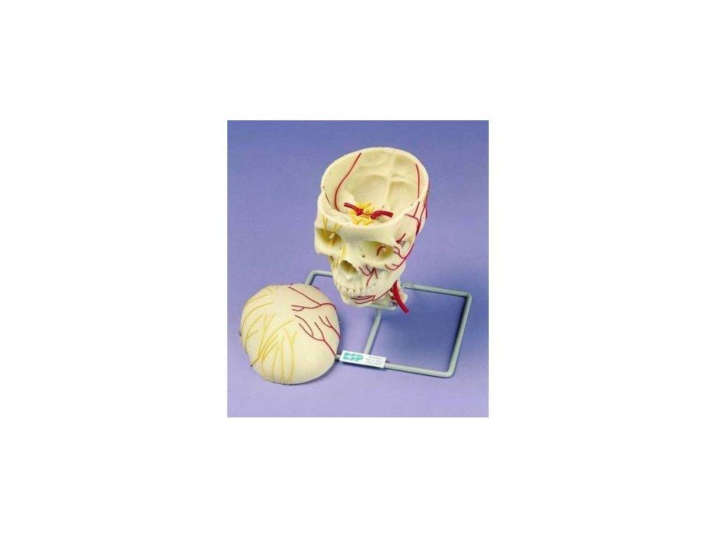 Neurovaskulární lebka