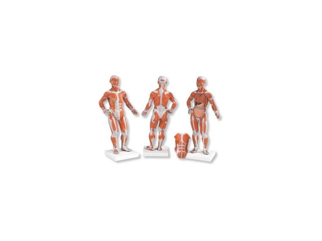 Postava se svaly, 1/3 životní velikosti, 2 části