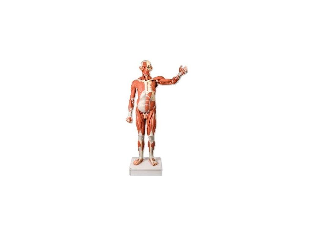 Mužská postava se svaly v životní velikosti, 37 částí