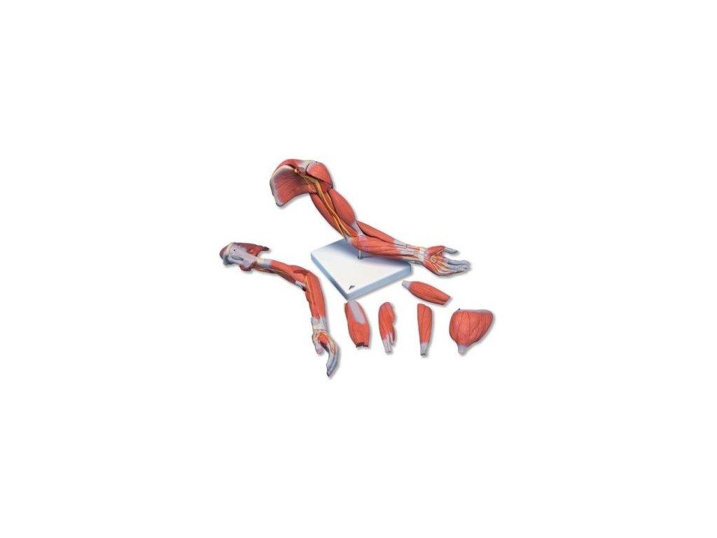 Model horní končetiny se svaly, 6 částí