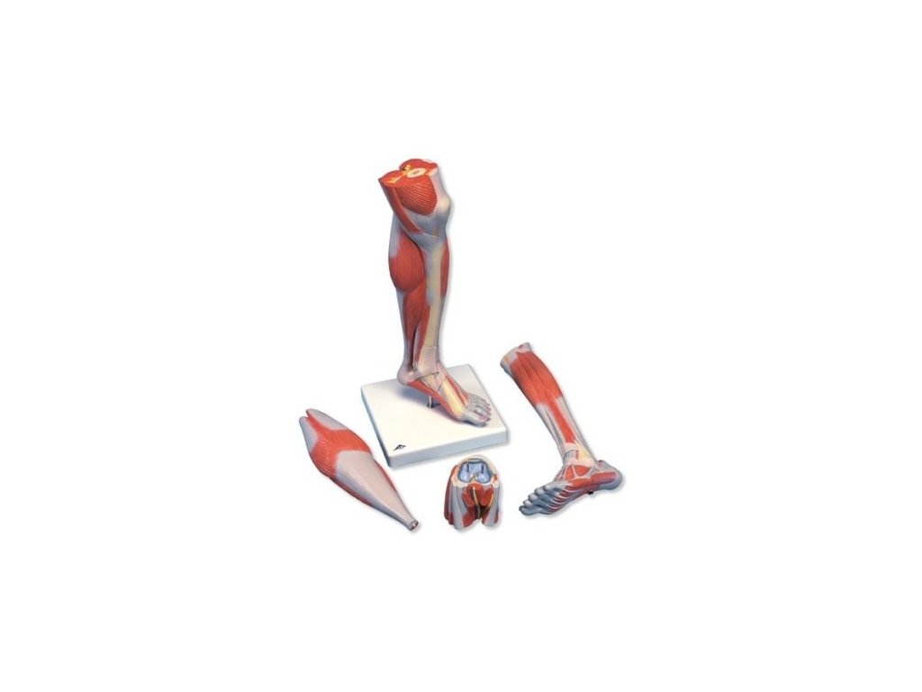 Model bérce a kolena se svaly, 3 části