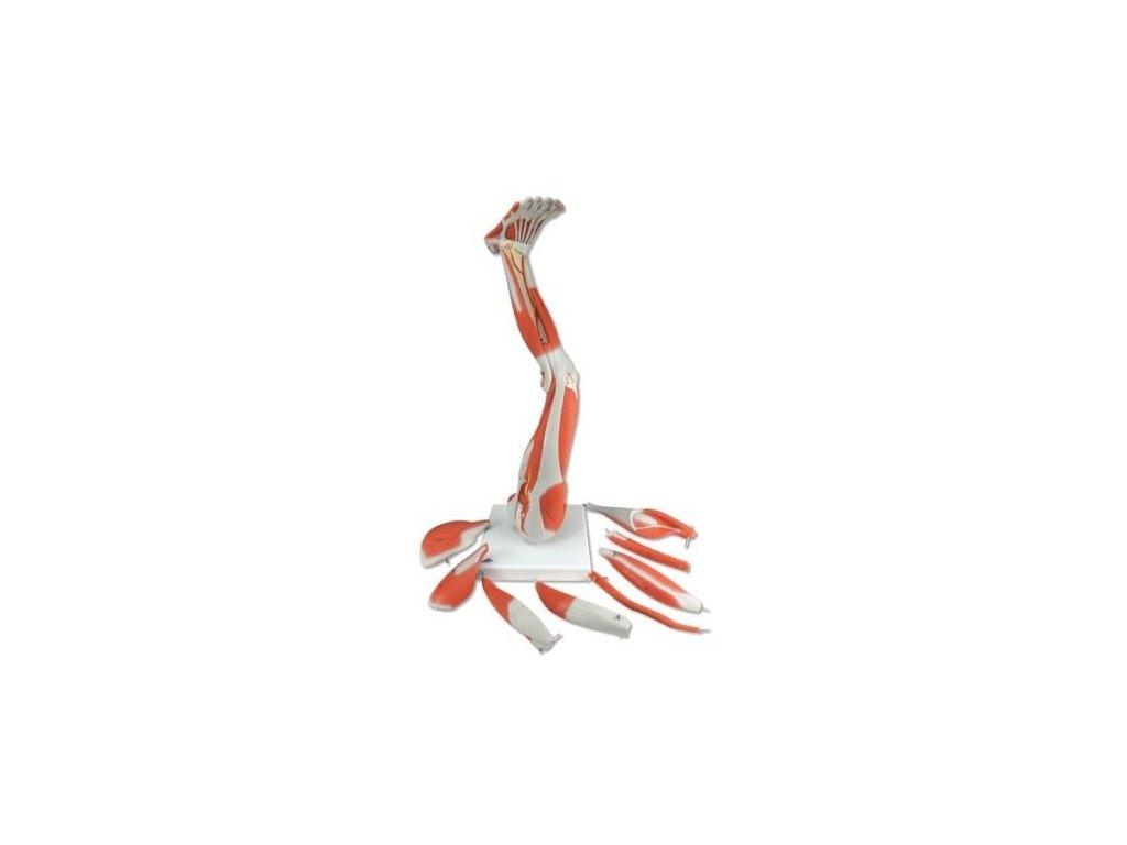 Model dolní končetiny se svaly, 9 částí