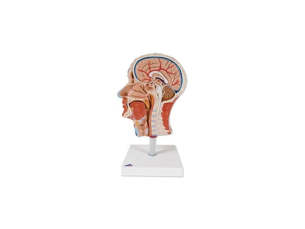 Polovina hlavy se svalstvem