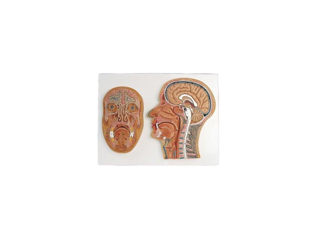 Řez střední a přední částí hlavy