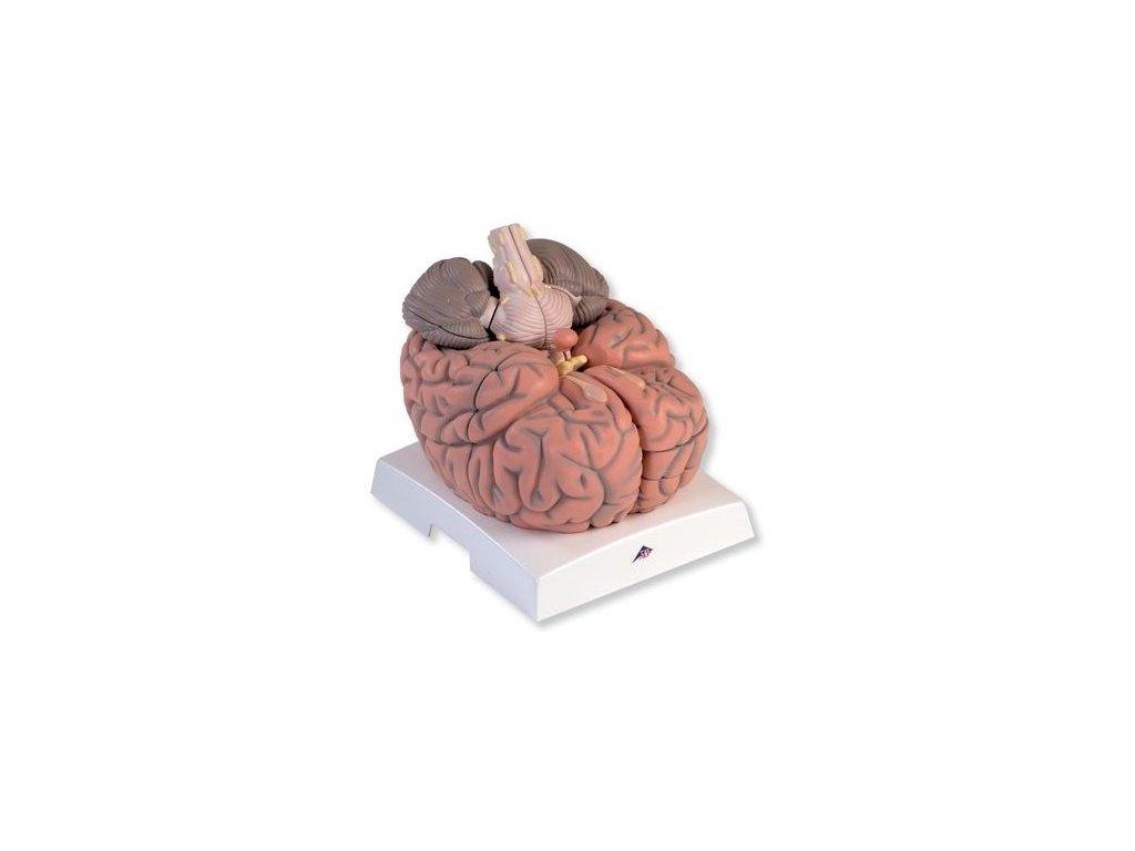 Velký model mozku, 2,5 krát zvětšený, 14 částí