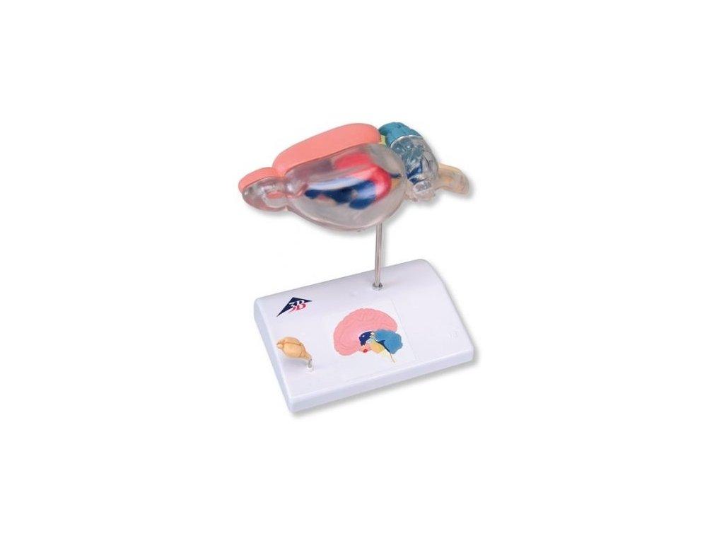 Anatomie mozku krysy pro porovnání