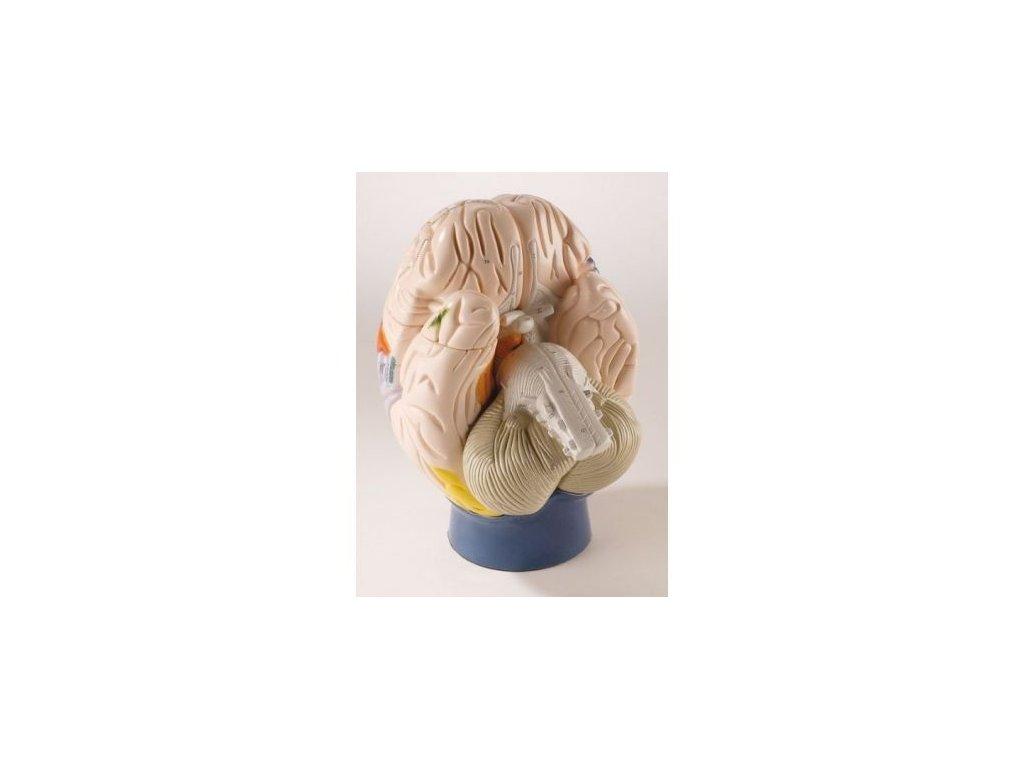 Neuro-anatomický model mozku