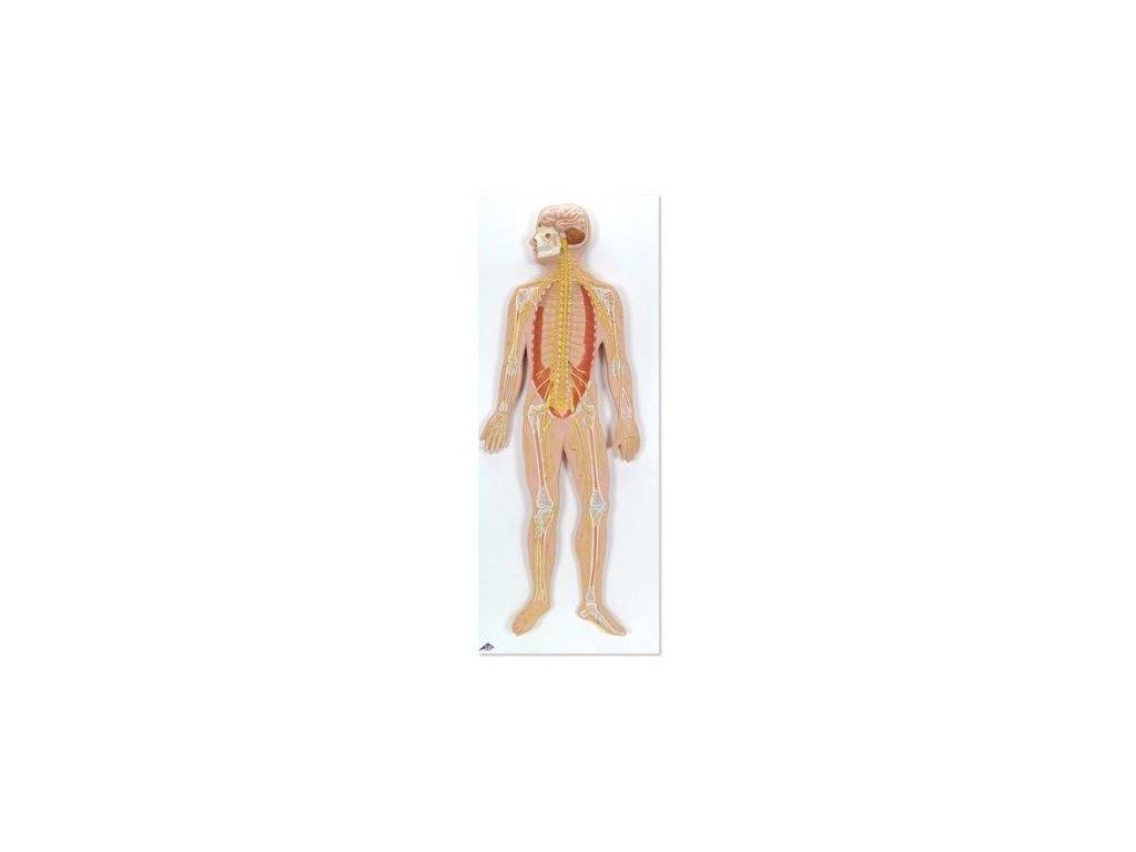Nervový systém, 1/2 životní velikosti