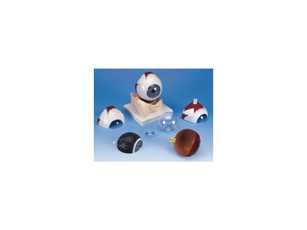 Model oka v kostěném očním důlku