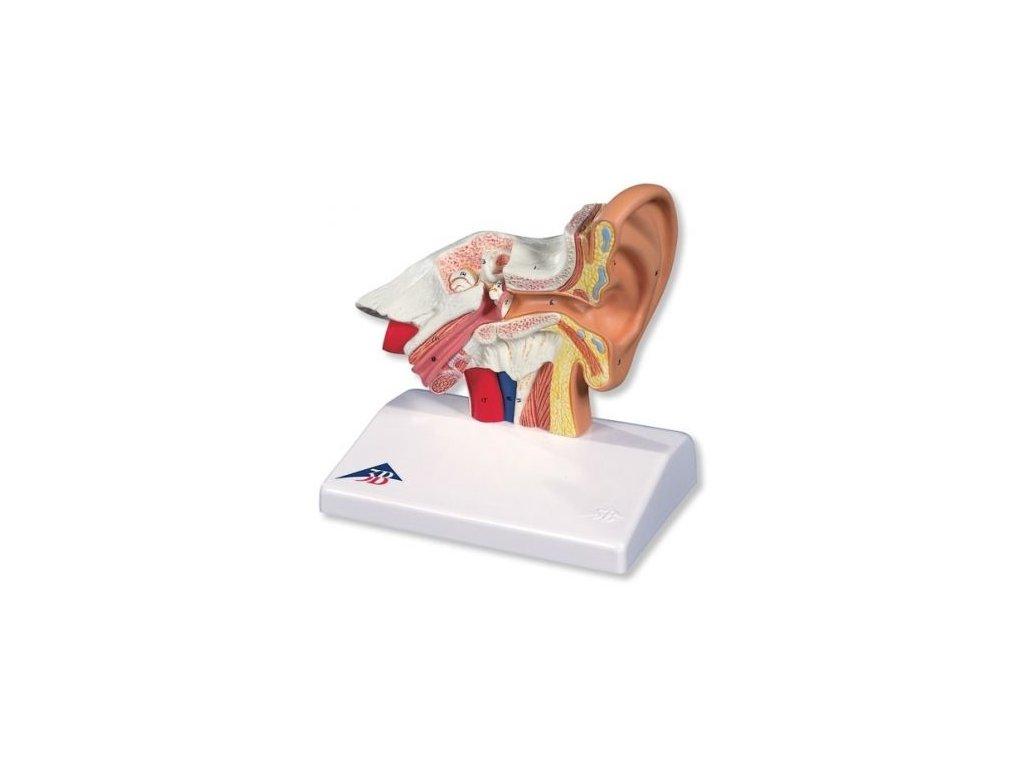 Stolní model ucha, 1,5 krát zvětšený