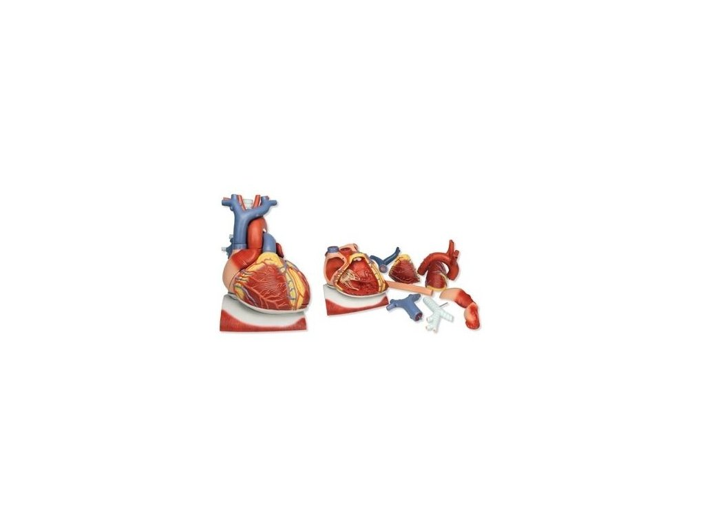 Model srdce na bránici, 3 krát zvětšený, 10 částí